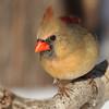 Cardinal girl