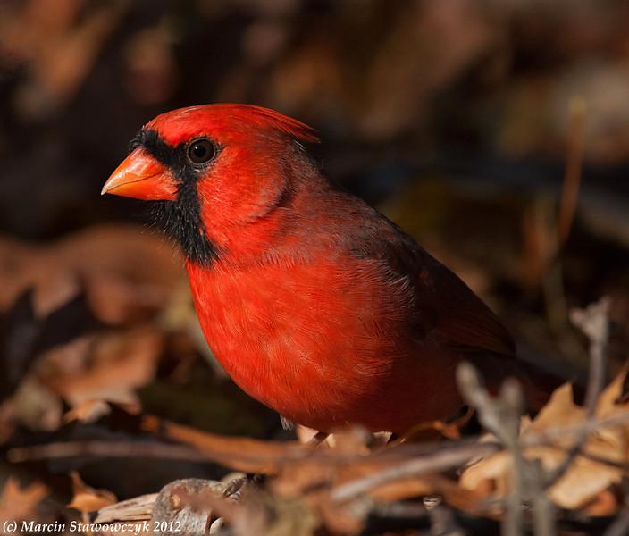 Cardinal on the ground