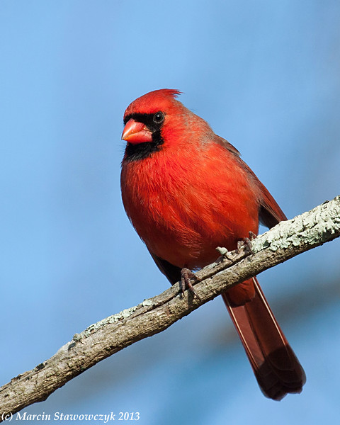 Cardinal in the blue sky