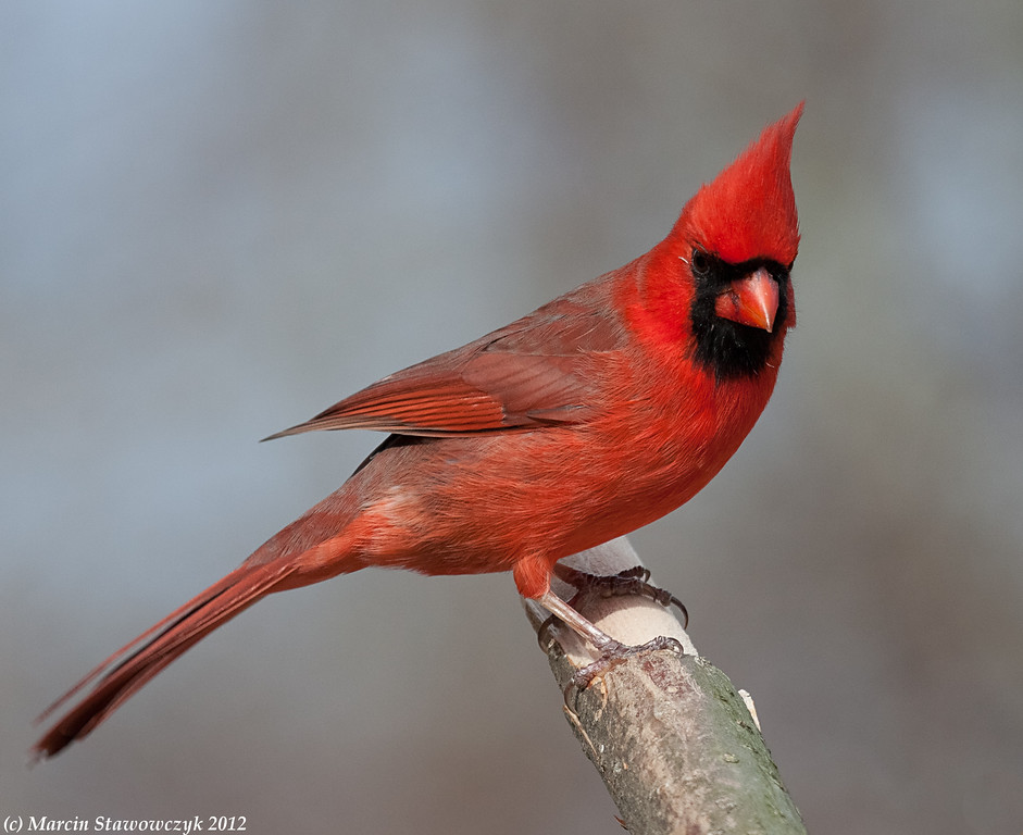 Posing northen cardinal