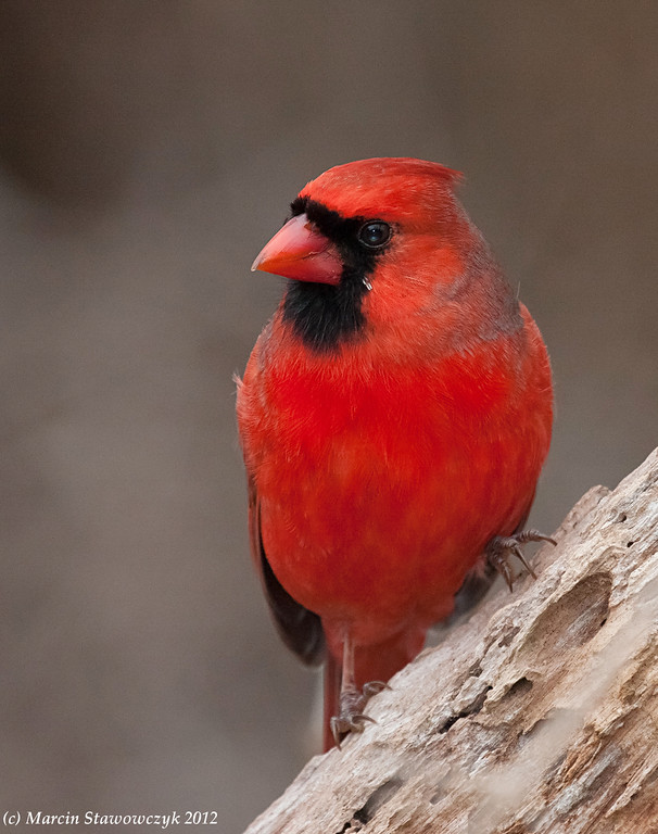 Cardinal on a cloudy day