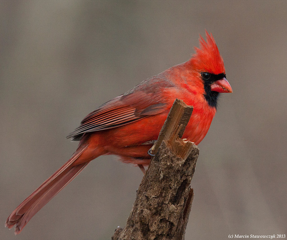 Cardinal on the perch