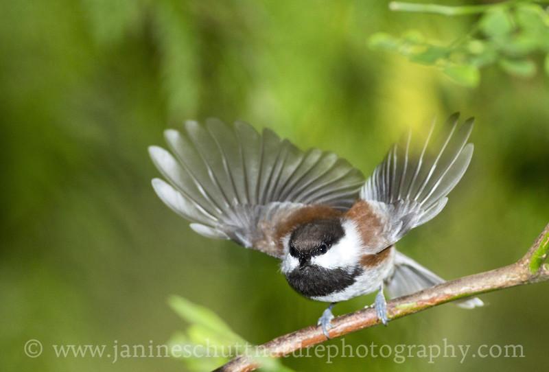 Chestnut-backed Chickadee taking flight.  Photo taken near Bremerton, Washington.
