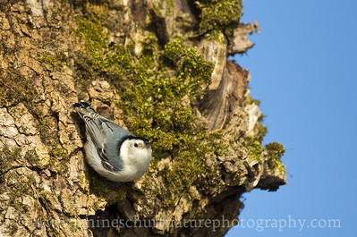 White-breasted Nuthatch at Steigerwald Lake National Wildlife Refuge in Washougal, Washington.