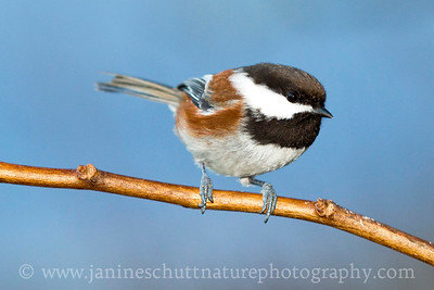 Chestnut-backed Chickadee near Auburn, Washington.