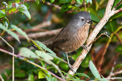 Wrentit near Manzanita, Oregon.