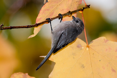 Male Bushtit at Evergreen Rotary Park in Bremerton, Washington.