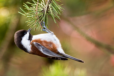 Chestnut-backed Chickadee hanging from a pine branch by Kah Tai Lagoon in Port Townsend, Washington.