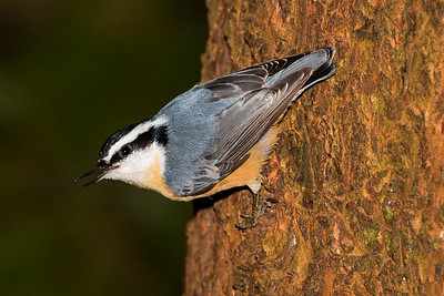 Male Red-breasted Nuthatch near Bremerton, Washington.