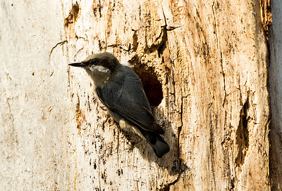 Pygmy Nuthatch by its nest hole.  Photo taken along the nature trail at the Leavenworth National Fish Hatchery near Leavenworth, Washington.
