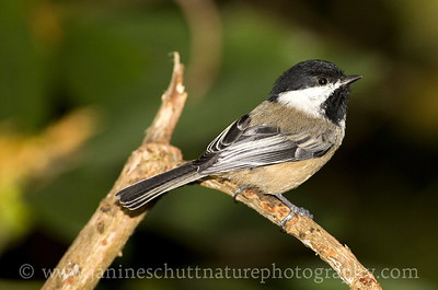 Black-capped Chickadee near Bremerton, Washington.