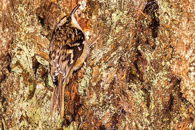 Brown Creeper at Kitsap Memorial State Park near Port Gamble, Washington.