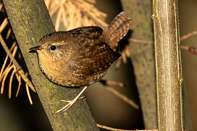 Pacific wren at Kitsap Memorial State Park near Port Gamble, Washington.