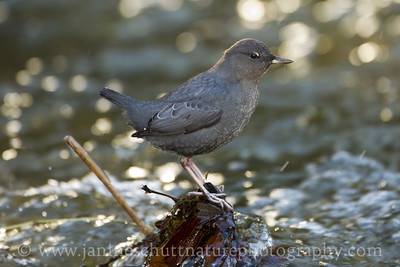 American Dipper in Chico Creek near Bremerton, Washington.