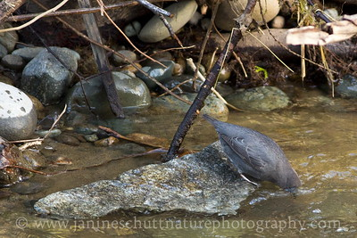 American Dipper foraging where Dickerson Creek joins Chico Creek near Bremerton, Washington.