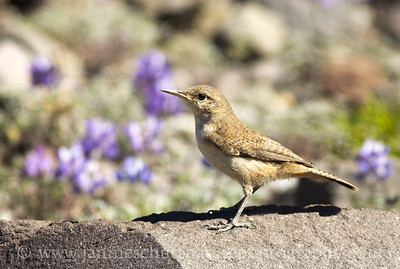 Rock Wren at the Mt. St. Helens National Volcanic Monument in Washington. Photo taken along the Boundary Trail near Johnston Ridge.