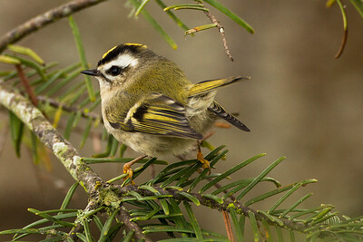 Female Golden-crowned Kinglet at the John Wayne Marina near Sequim, Washington.