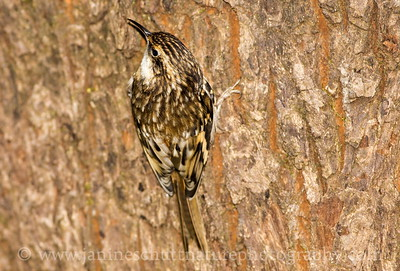 Brown Creeper near Bremerton, Washington.