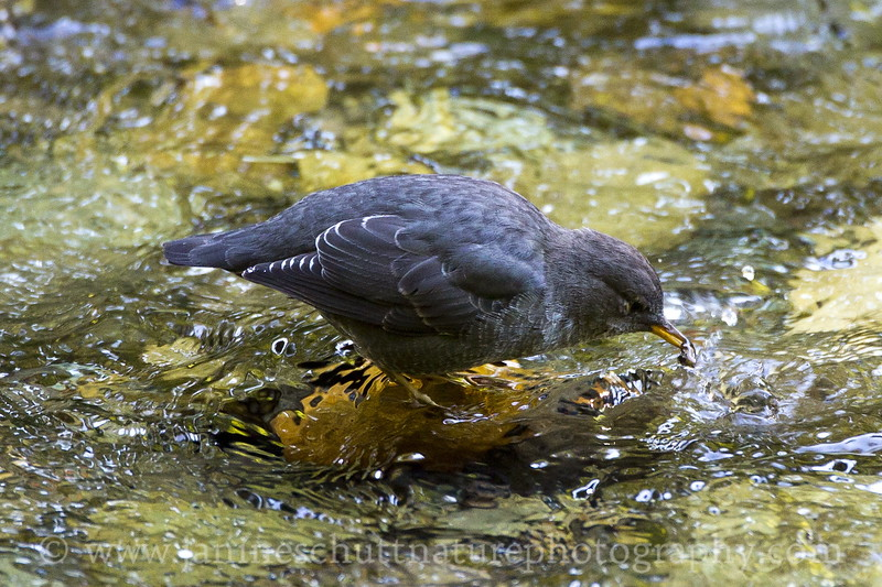American Dipper foraging in the Ohanapecosh River along the Grove of the Patriarchs Trail at Mt. Rainier National Park in Washington.