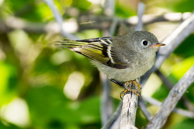 Immature Ruby-crowned Kinglet by the Clear Creek Trail in Buffalo, Wyoming.