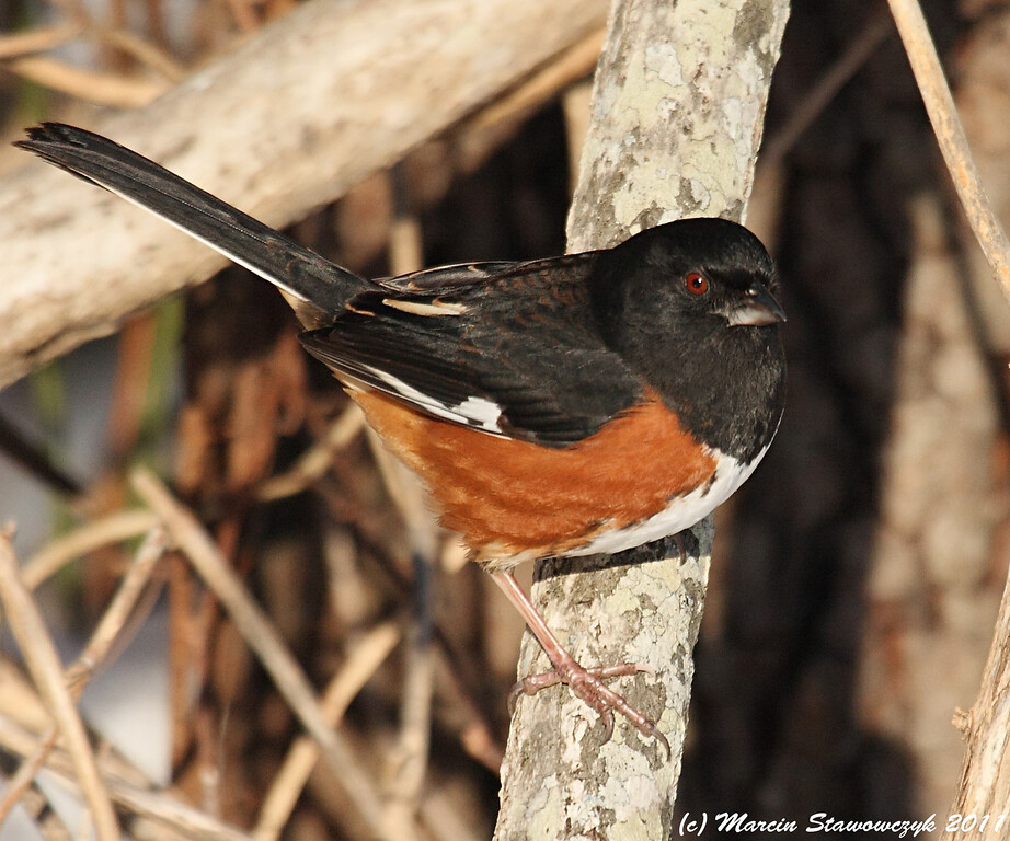 Towhee on the branch