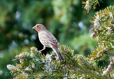Male House Finch.  Photo taken in Bremerton, Washington.