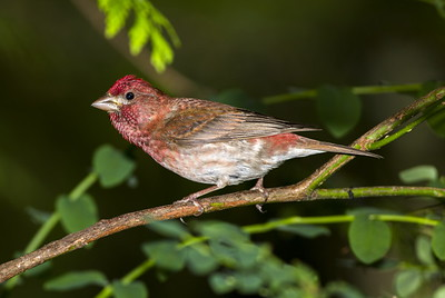 Male Purple Finch near Bremerton, Washington.