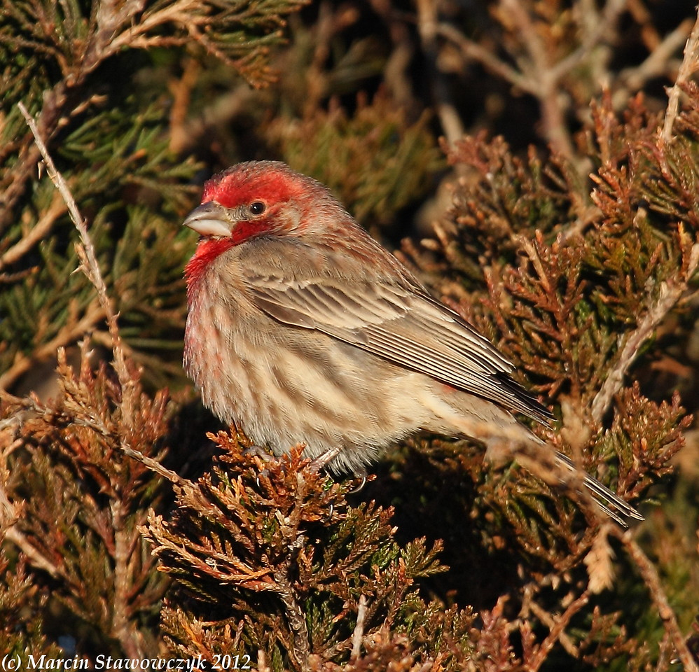 Housefinch on the pine