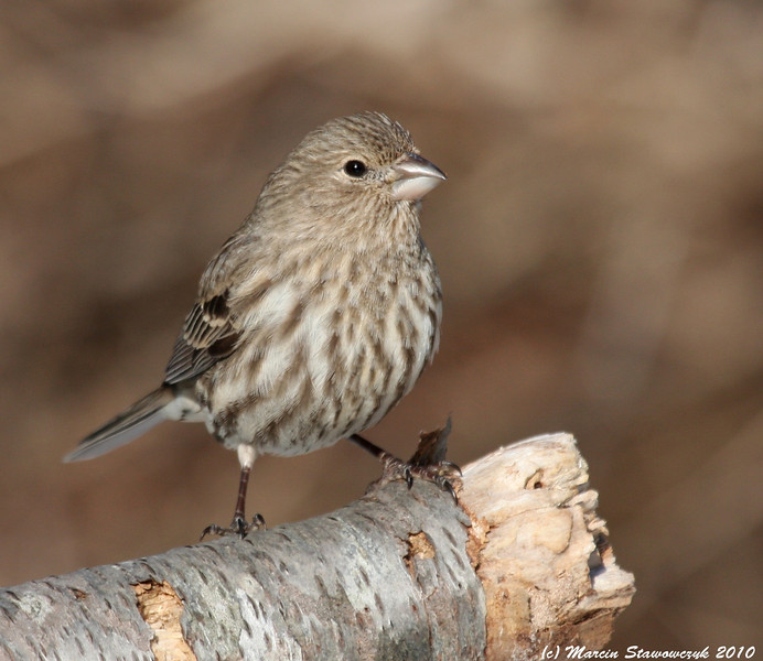 Proud housefinch