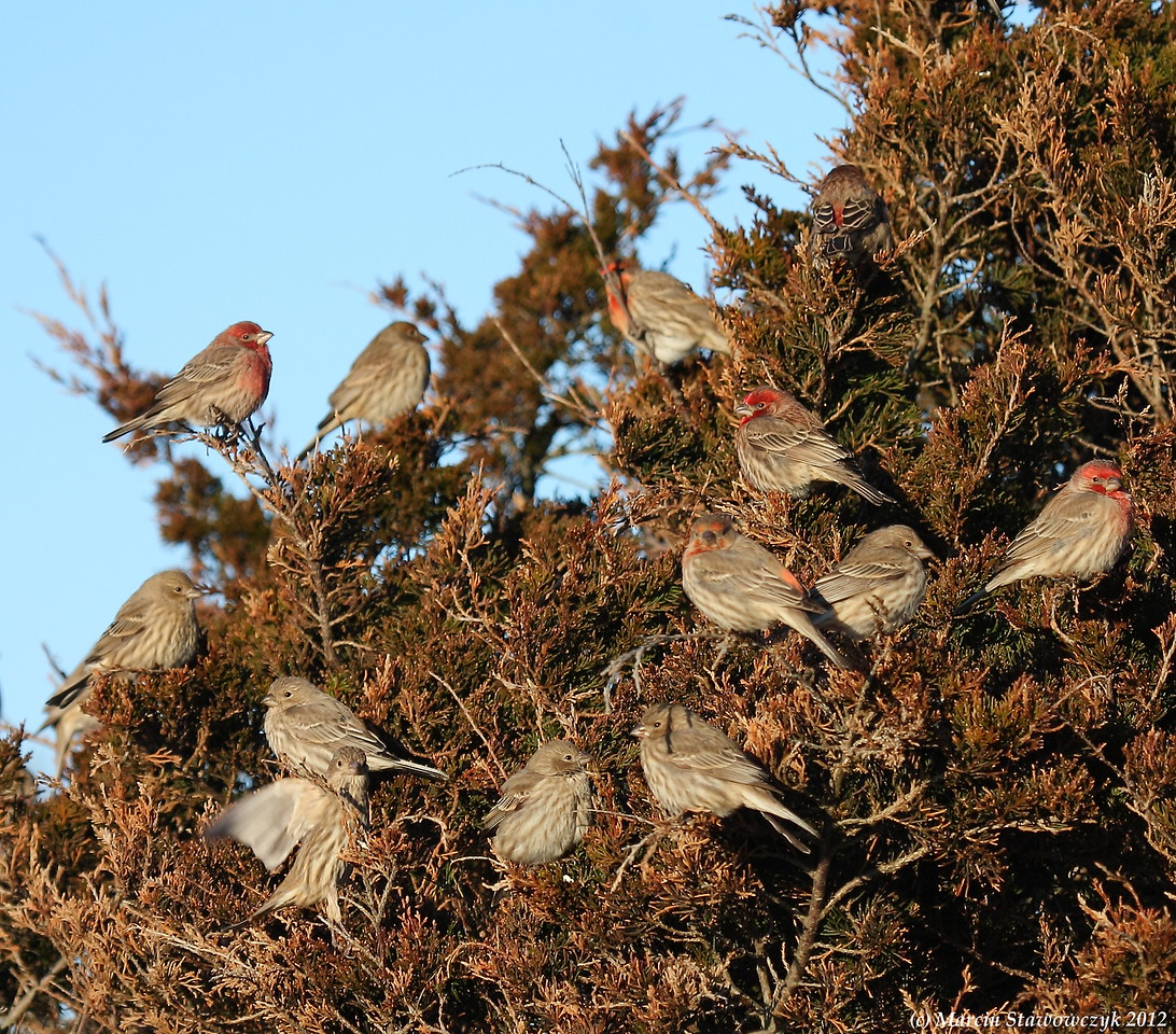 Tree of husefinches