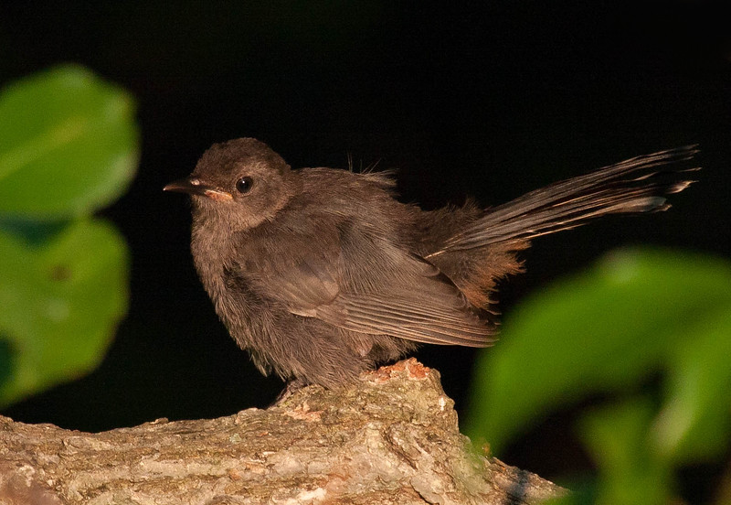 Juvenile catbird