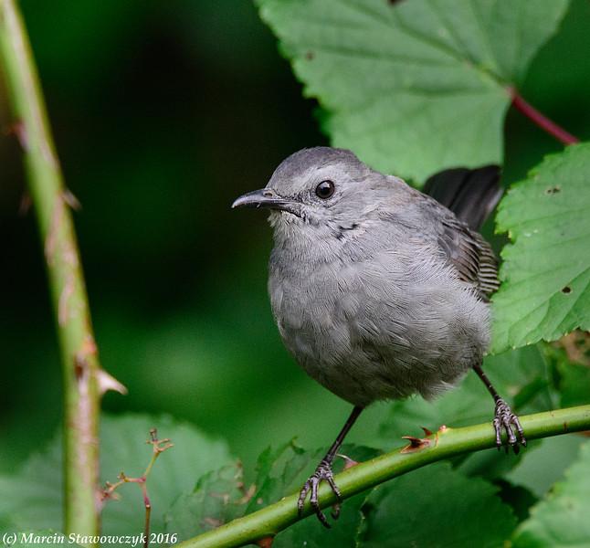 Catbird on a twig