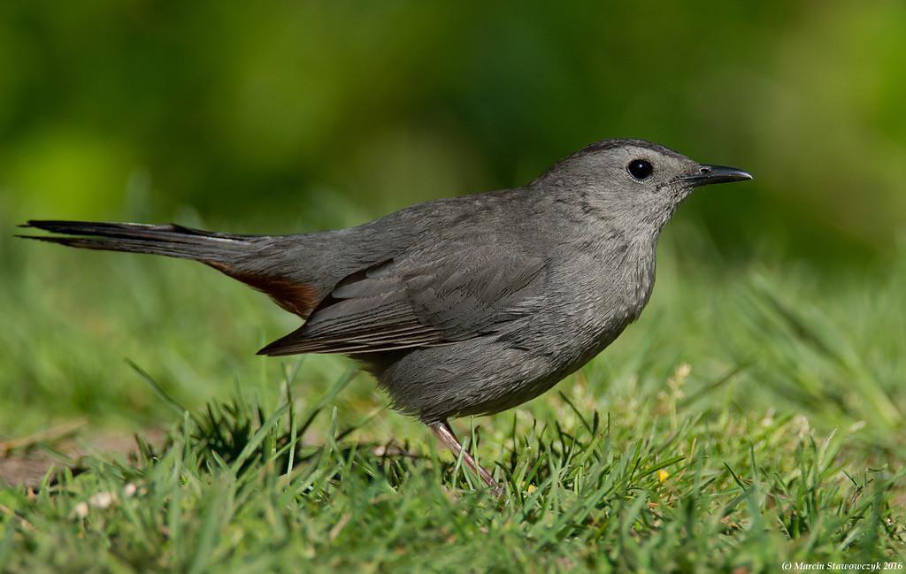 Catbird in the grass