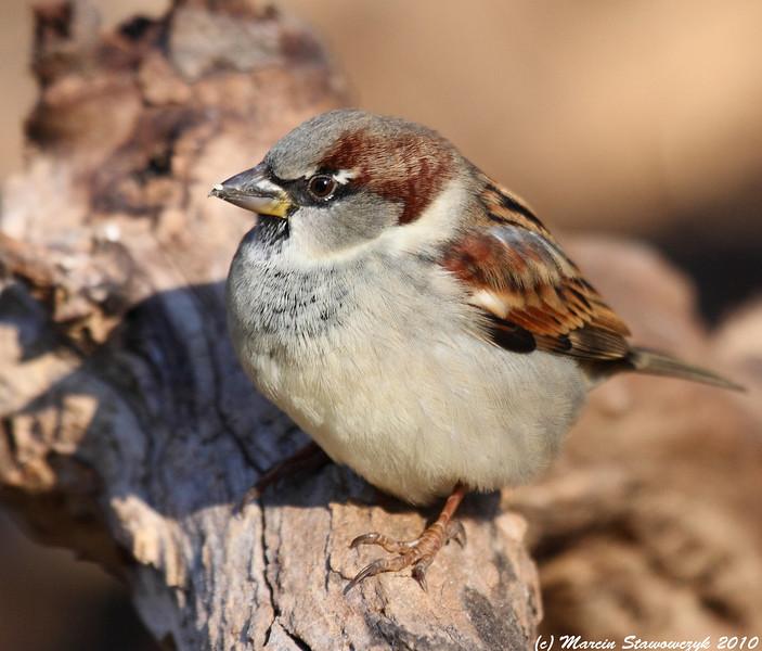 Mister sparrow