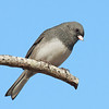 Junco from below