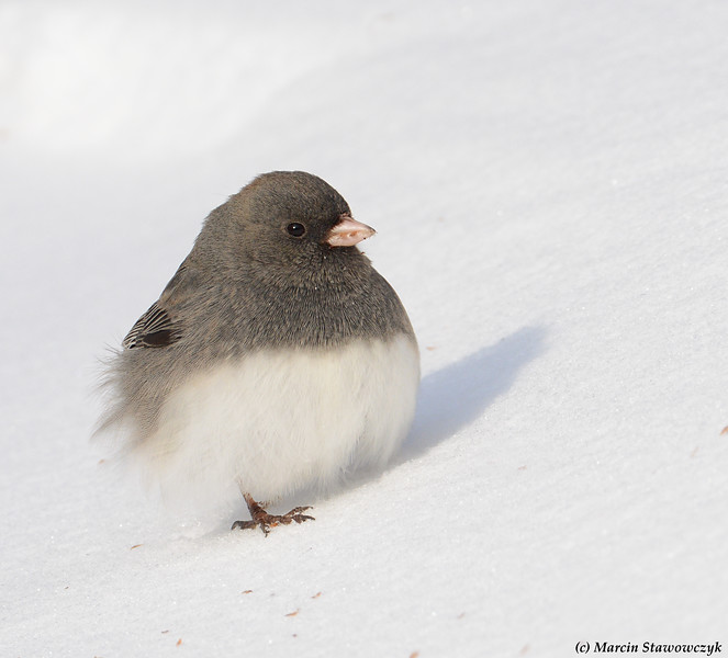 Junco on the slope