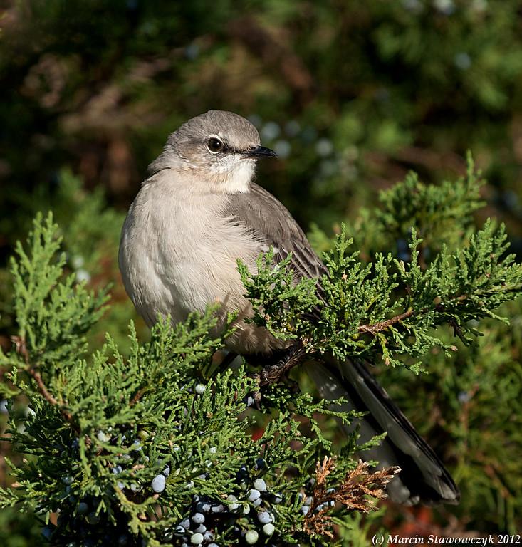 Posing mockingbird