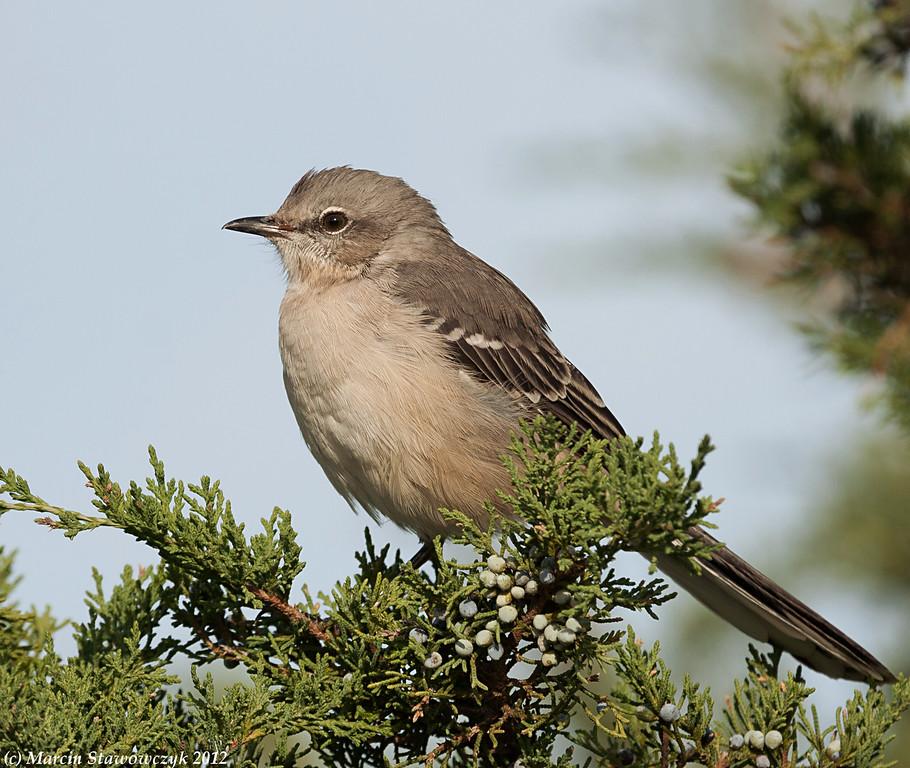 Profile of mockingbird