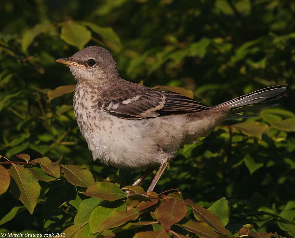 Mockingbird fledgling
