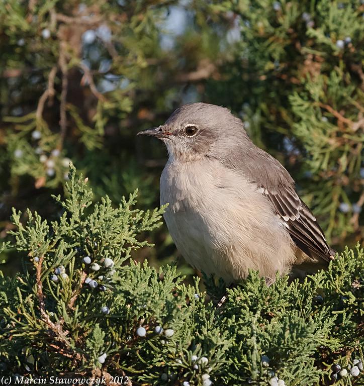 Sitting mockingbird
