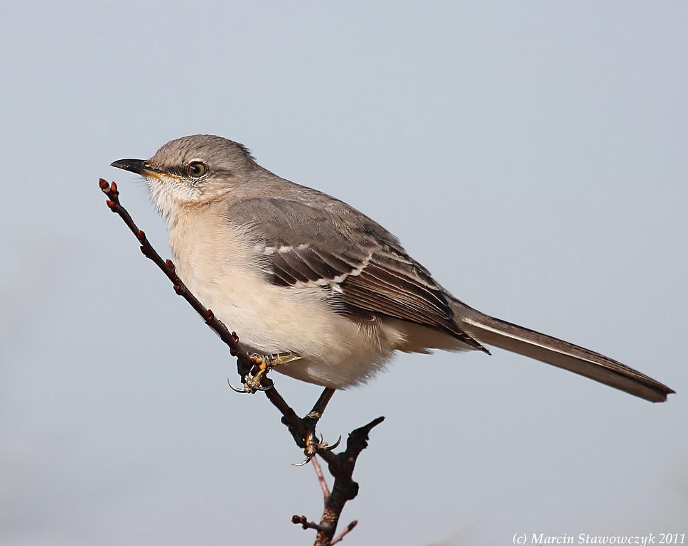 Perching mockingbird