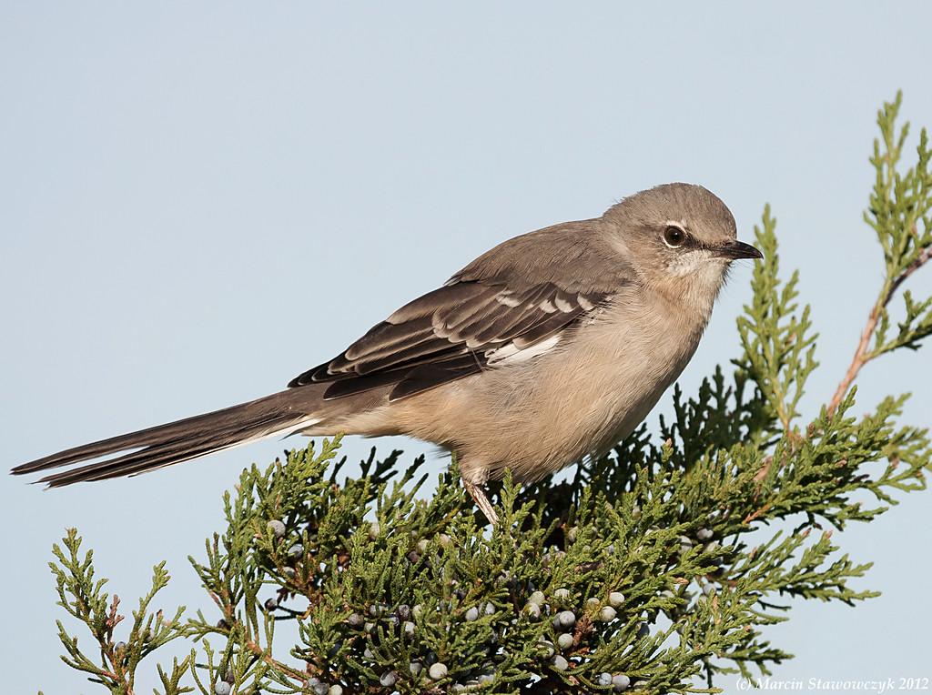 Mockingbird and a juniper shrub