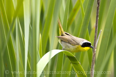 Male Common Yellowthroat along the Hummocks Trail at the Mt. St. Helens National Volcanic Monument in Washington.