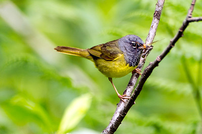 MacGillivray's Warbler. Photo taken at the Coldwater Lake Recreation Area at Mt. Helens National Volcanic Monument in Washington.