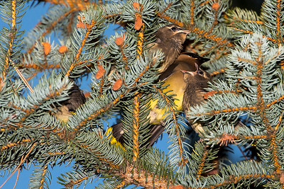 Cedar Waxwing family at Lewis and Clark Caverns State Park in Jefferson County, Montana.