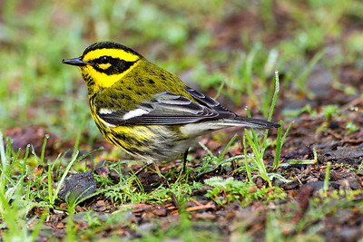 Male Townsend's Warbler at Cape Disappointment State Park near Ilwaco, Washington.
