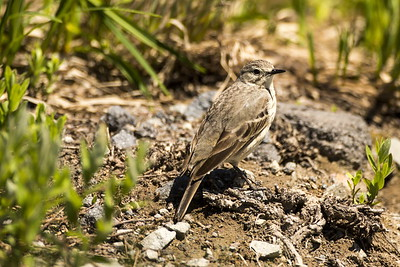 American Pipit at Paradise in Mt. Rainier National Park in Washington.