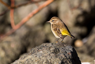 Palm Warbler in Neah Bay, Washington.