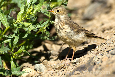 American Pipit at Hurricane Ridge, Olympic National Park near Port Angeles, Washington.