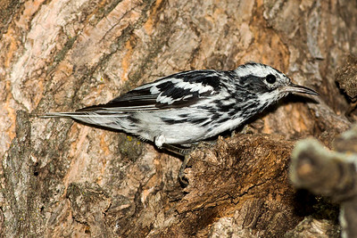 Male Black-and-White Warbler at Theodore Roosevelt National Park in North Dakota.